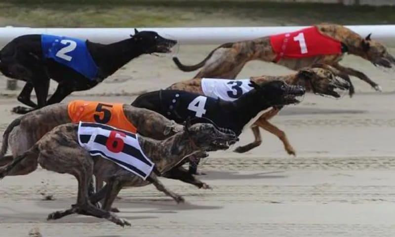 Game đua chó- Cách đặt cược đua chó online tại nhà cái W88